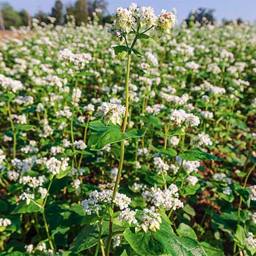 A close up square image of buckwheat growing in a field.