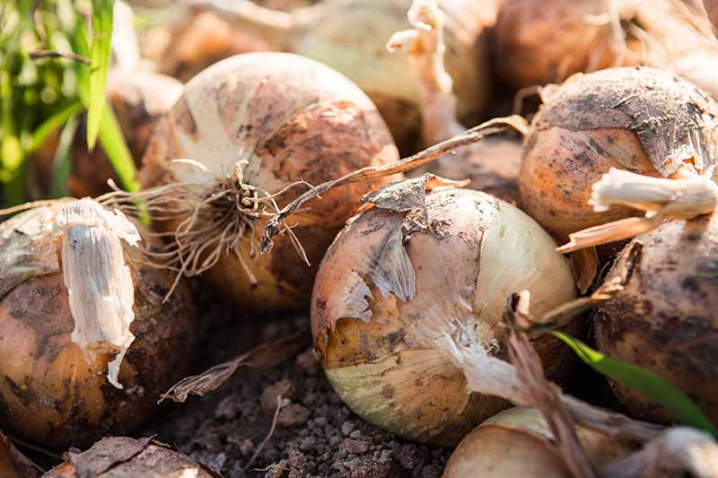 A close up horizontal image of freshly harvested onions set on the ground in light sunshine.