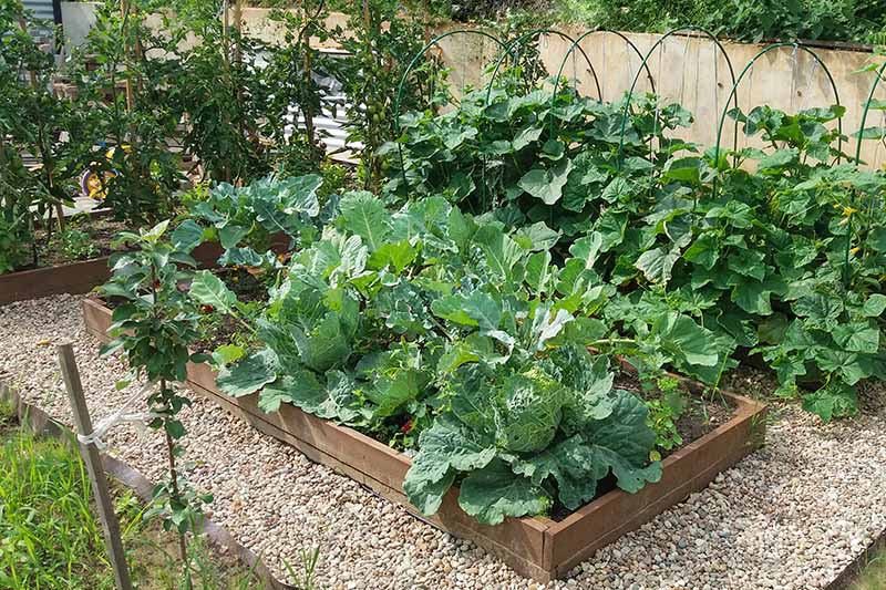 A close up horizontal image of raised bed gardens growing a variety of vegetables.