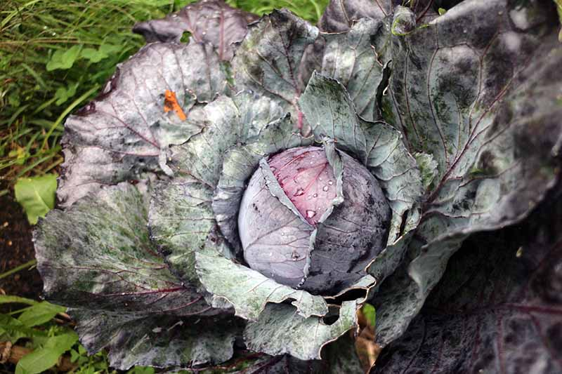 A close up horizontal image of a purple cabbage plant with a tight developing head and large outer leaves.