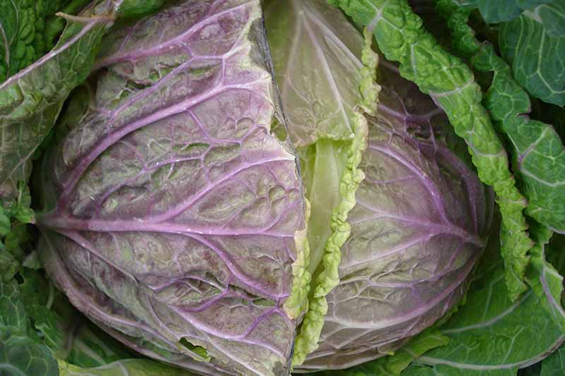A close up horizontal image of a cabbage head that has started to split before harvest.