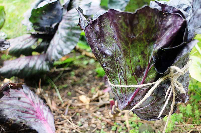 A close up horizontal image of cabbage leaves tied up around the developing head pictured on a soft focus background.