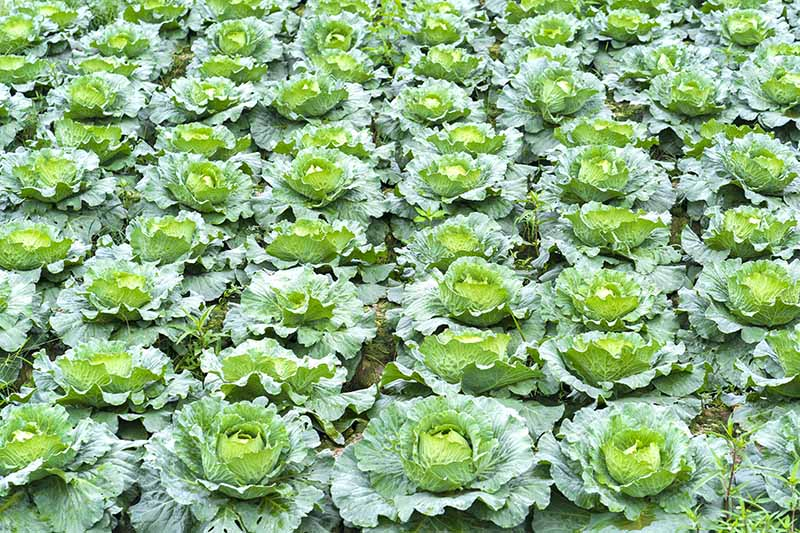 A close up horizontal image of rows of cabbages planted in a monoculture.