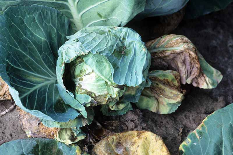 A close up horizontal image of a cabbage growing in the garden suffering from black rot.
