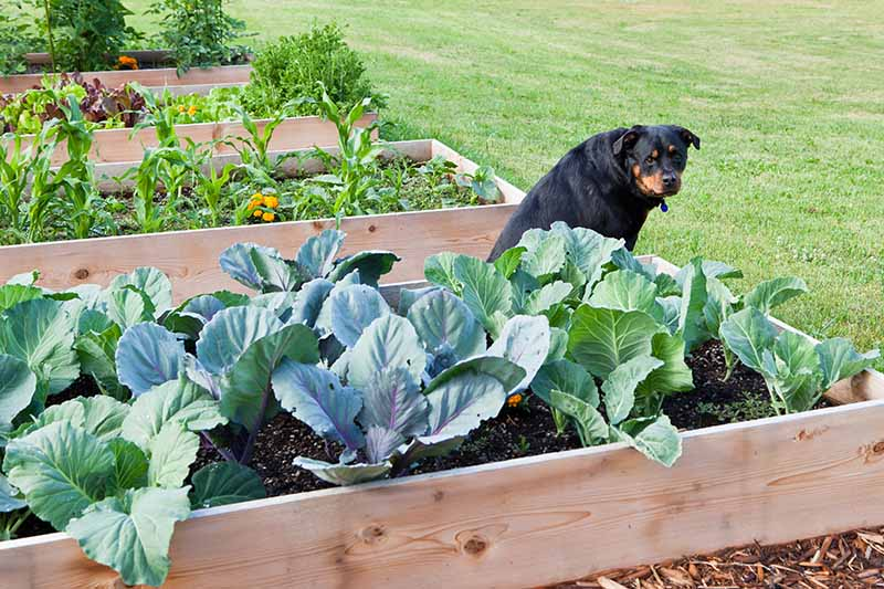 A close up horizontal image of a large rottweiller in a raised garden bed with cabbage plants.