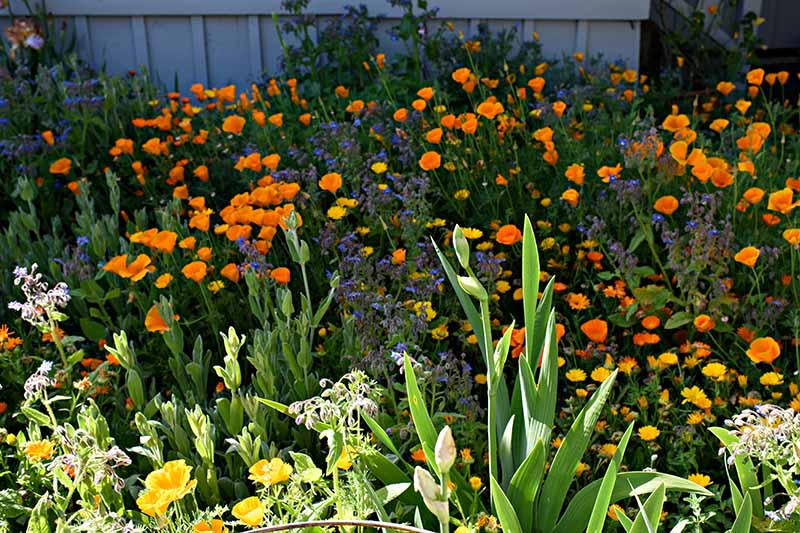 A close up horizontal image of California poppies growing in a mixed wildflower planting pictured in light sunshine.