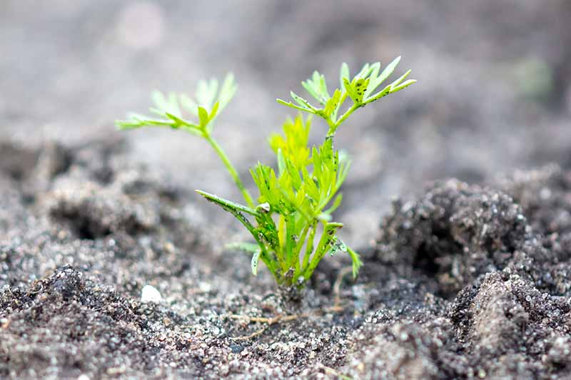 A close up horizontal image of a carrot seedling growing in the garden pictured on a soft focus background.