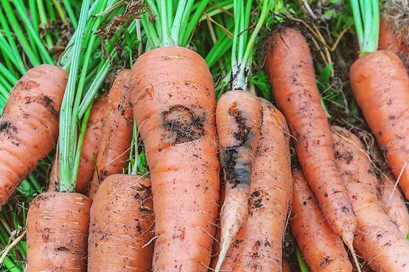 A close up horizontal image of a pile of freshly harvested carrots that have been damaged by the larva of the root fly.