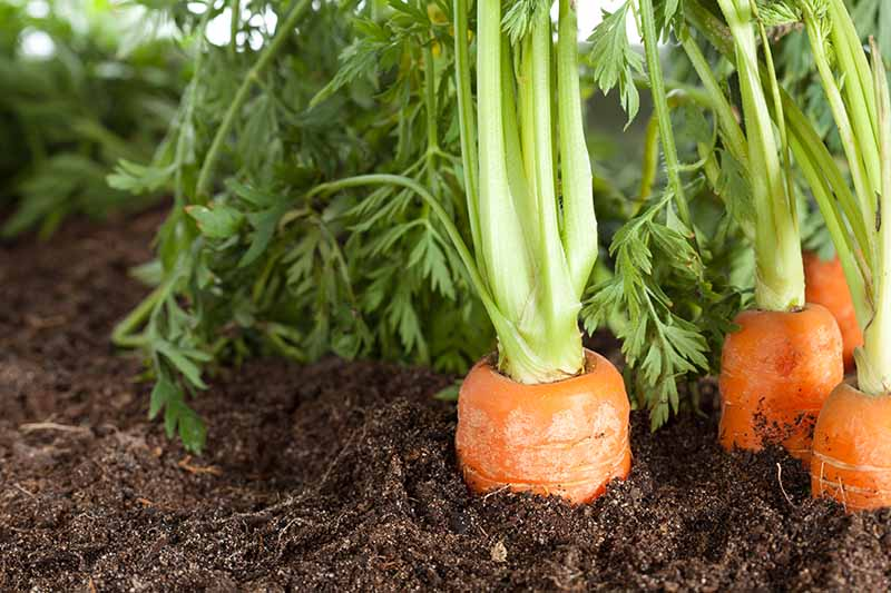 A close up horizontal image of carrots growing in the garden with the top of the roots visible above the soil indicating that they are ready for harvest.