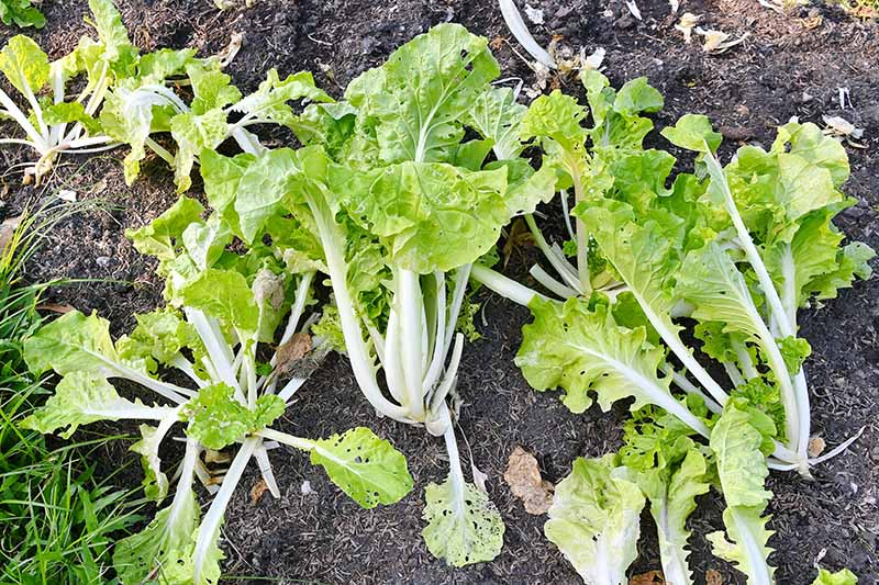 A close up horizontal image of Chinese cabbage growing in the garden that has insect holes in the foliage.