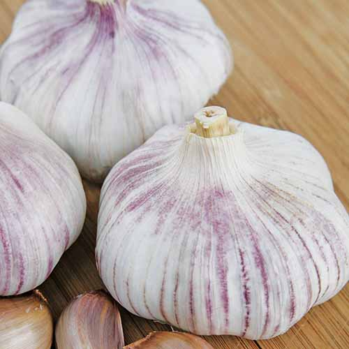 A close up square image of 'Chinese Pink' garlic set on a wooden surface.