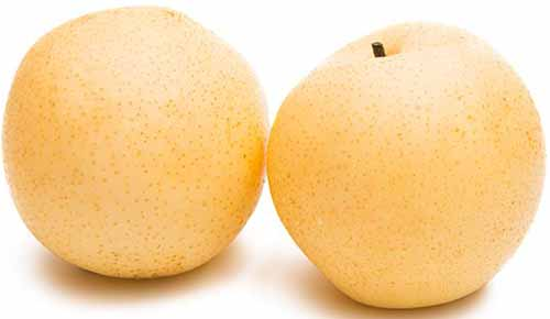 A close up horizontali image of two 'Chojuro' pears isolated on a white background.