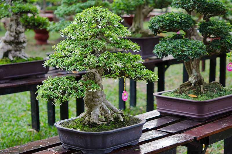 A close up horizontal image of two chokkan (formal upright) styles of bonsai trees set on a wooden surface outdoors.