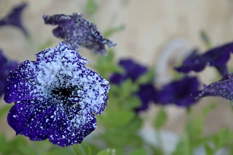 A close up horizontal image of a blue petunia blossom with a dusting of frost on the bloom pictured on a soft focus background.