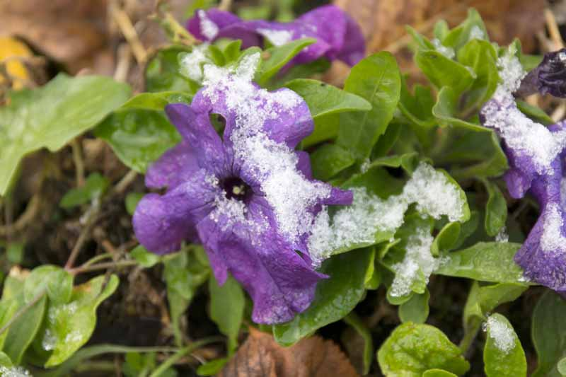 A close up horizontal image of a purple petunia flower covered in a light frost.