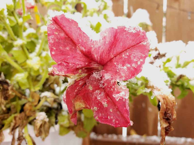A close up horizontal image of a red petunia blossom covered in frost with a wooden fence in soft focus in the background.