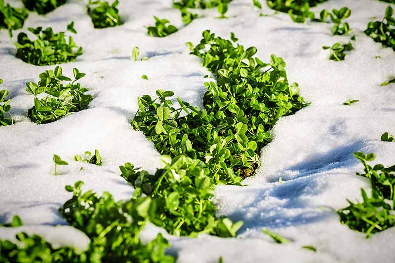 A close up horizontal image of clover growing as a cover crop in the snow pictured in bright sunshine.