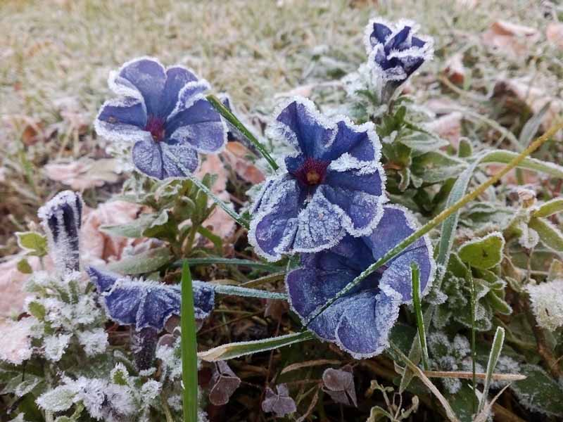 A close up horizontal image of blue petunias growing in the garden covered in frost.