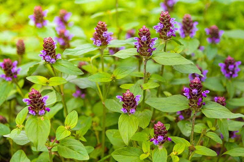 A close up horizontal image of Prunella vulgaris aka common self-heal with green foliage and purple flowers.
