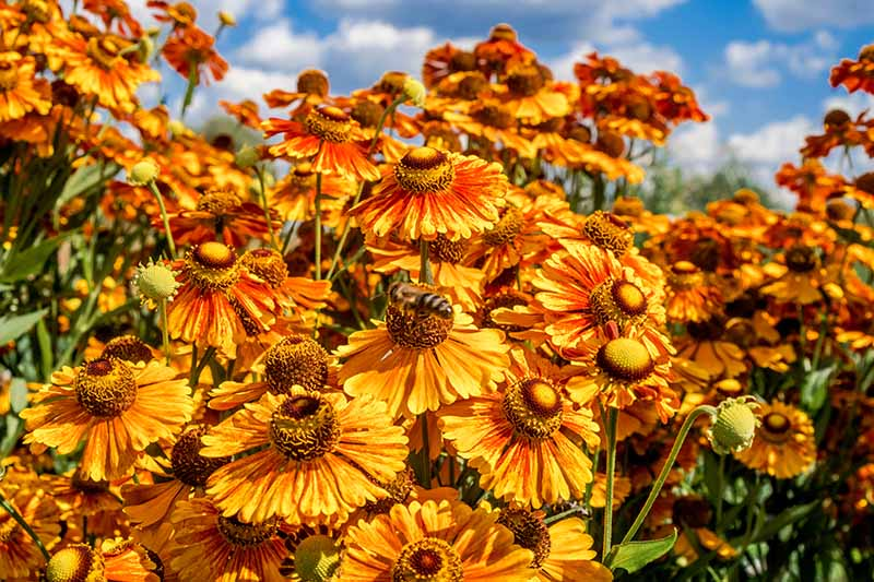 A close up horizontal image of fall sneezeweed growing in a meadow pictured on a blue sky background.