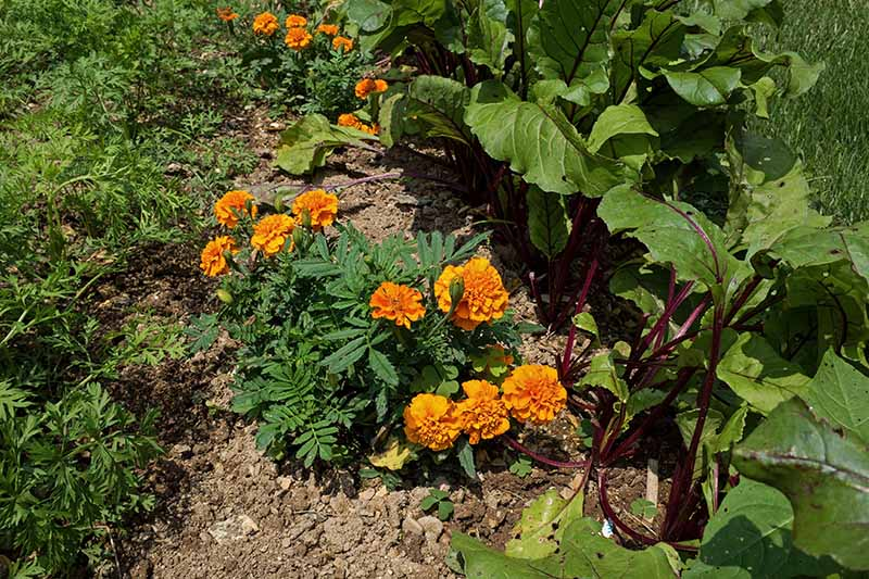 A close up horizontal image of marigolds growing the garden, companion planted with vegetables.