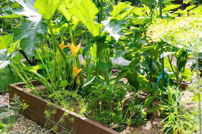 A close up horizontal image of a raised garden bed planted with a variety of different vegetables pictured in light sunshine.