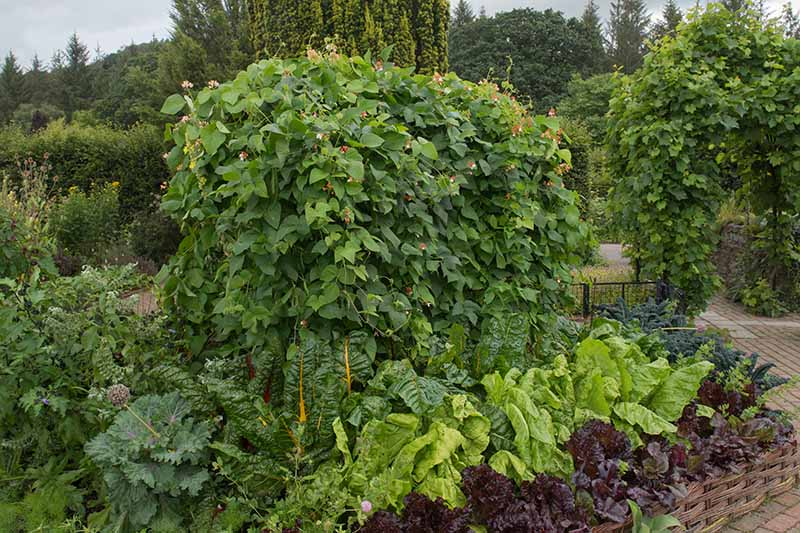 A close up horizontal image of a mixed vegetable bed growing a variety of different crops.