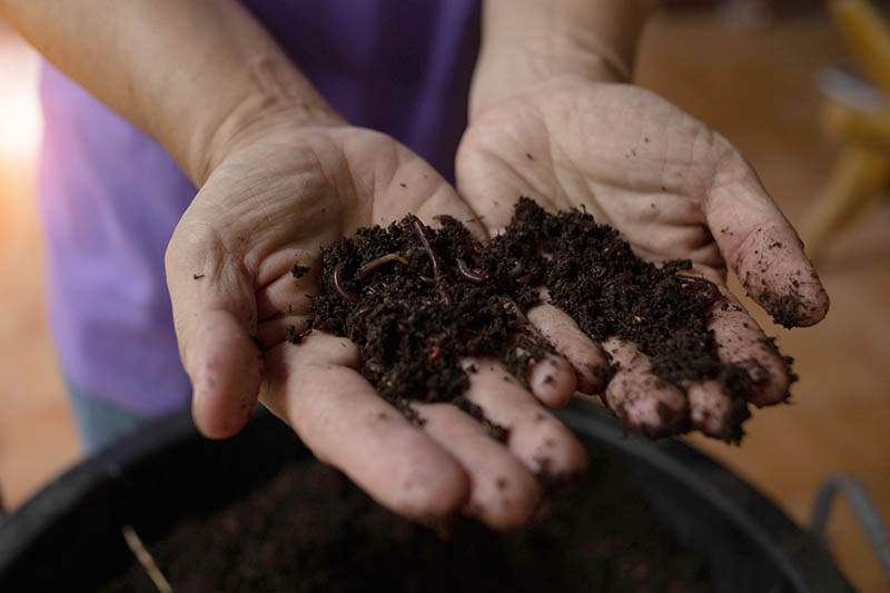 A close up horizontal image of two hands holding compost teeming with earthworms.