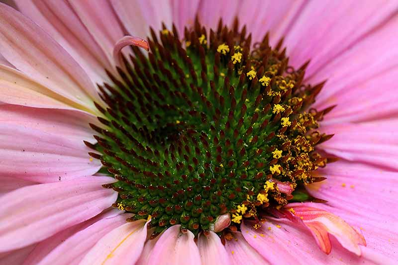 A close up horizontal image of the center of a coneflower showing the whorls.