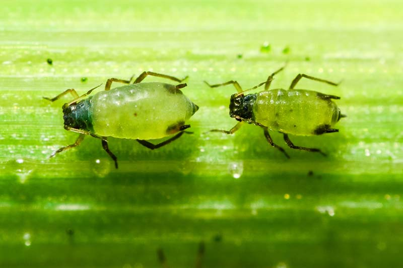 A close up horizontal image of two aphids on a green leaf.