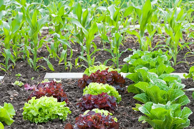 A close up horizontal image of lettuce and corn growing in a garden bed.