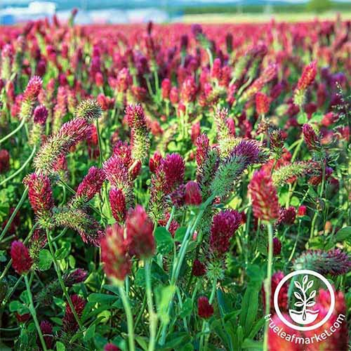 A close up square image crimson clover growing in a field. To the bottom right of the frame is a white circular logo with text.