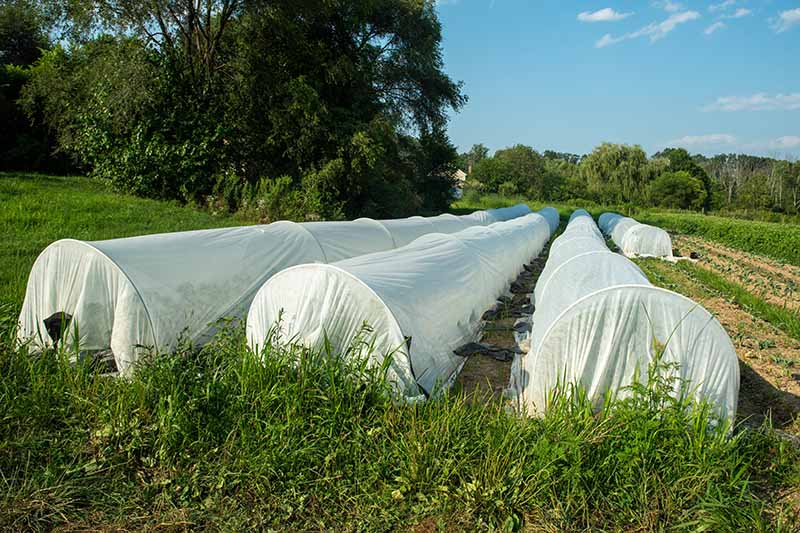 A horizontal image of rows of crops covered with floating row covers to protect from pests and cold temperatures.