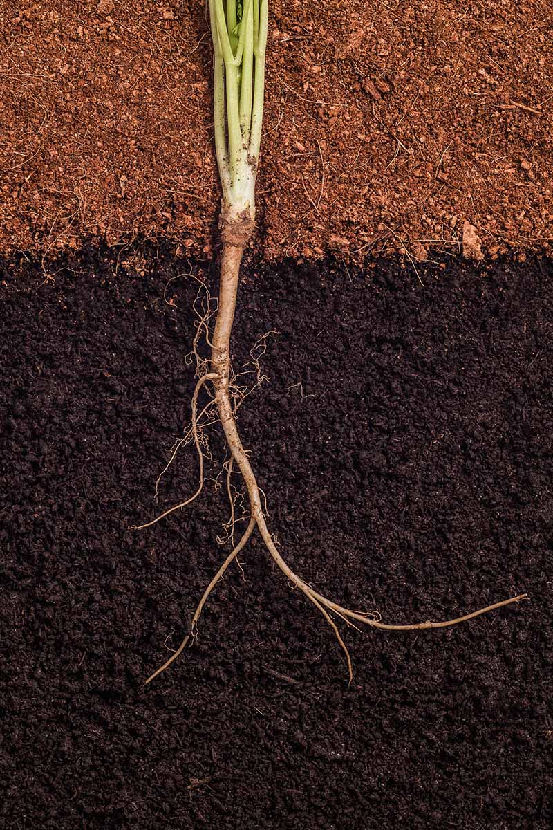 A close up vertical image of a cross section of soil showing how a root makes its way through the soil.