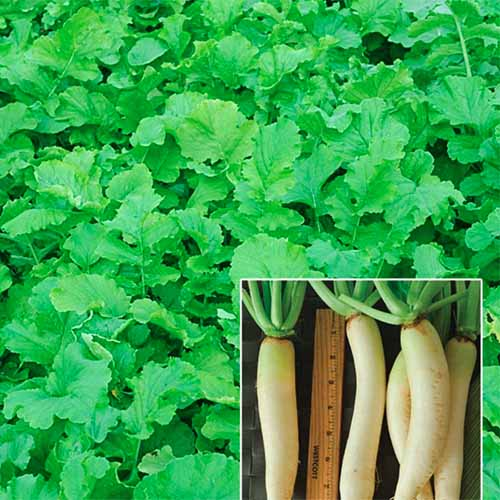 A close up square image of daikon radish greens with a smaller image superimposed of the roots with a measuring ruler.