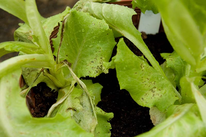 A close up horizontal image of lettuce seedlings dying from a condition called damping off.