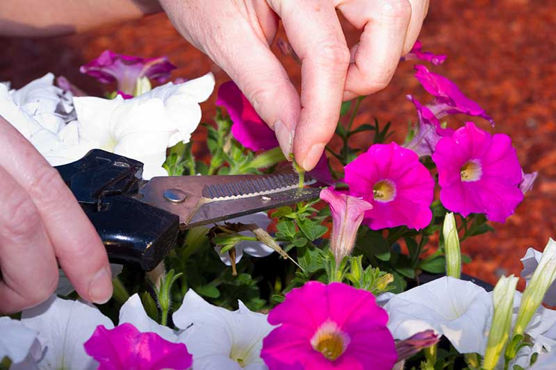 A close up horizontal image of two hands holding a pair of scissors deadheading petunia flowers.