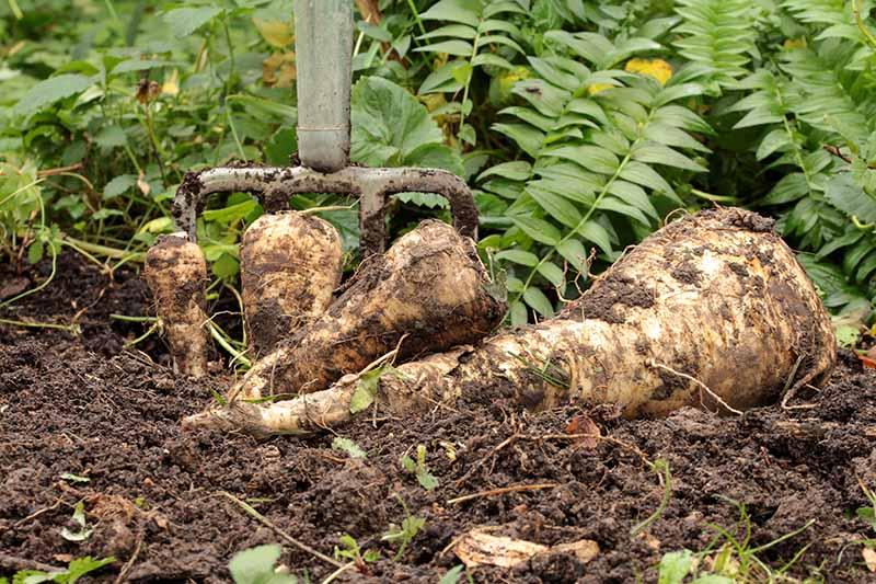 A close up horizontal image of a garden fork digging up homegrown parsnips.