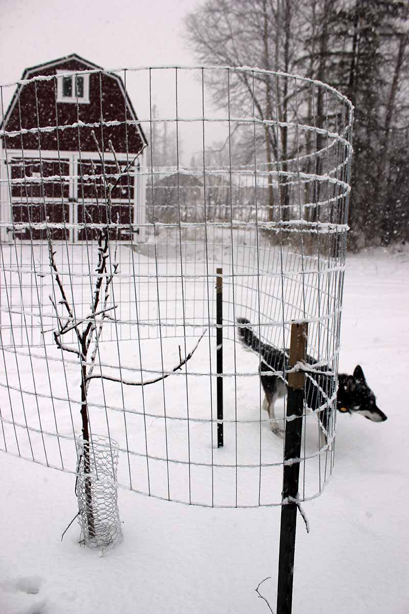 A close up vertical image of an apple tree growing in a snowy landscape with a metal fence constructed around it to protect it from moose.