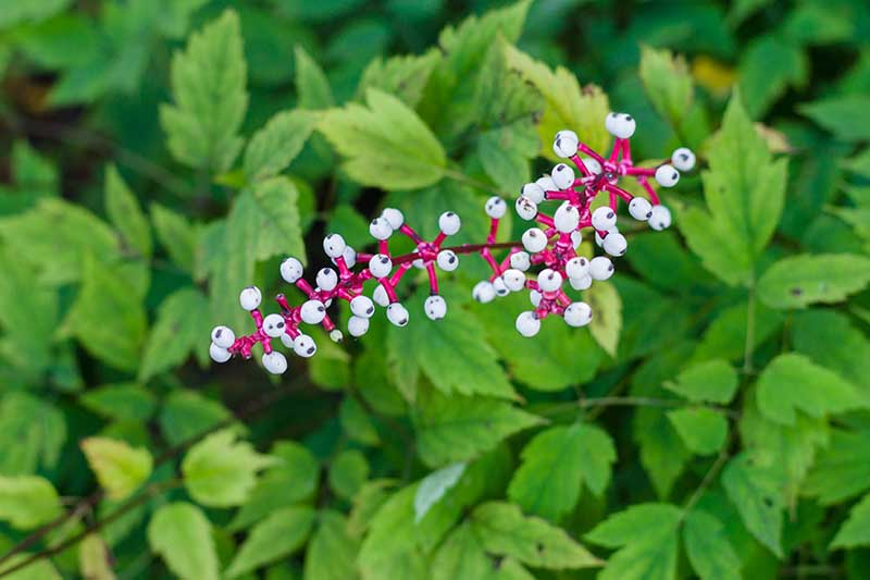 A close up horizontal image of white baneberry berries growing in the garden with foliage in soft focus in the background.