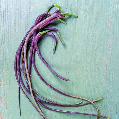 A close up square image of the long purple 'Dragon Tail' radishes set on a blue surface.