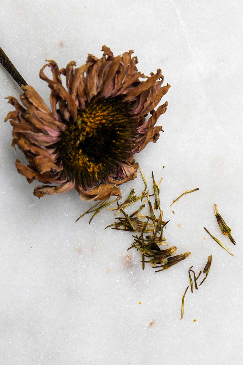 A close up vertical image of a dried coneflower with seeds spilling out of the center, on a white surface.