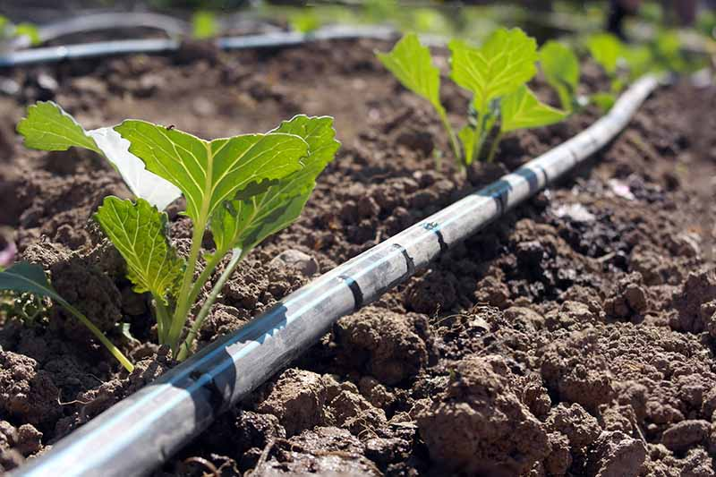 A close up horizontal image of a garden bed with drip irrigation installed to water crops.