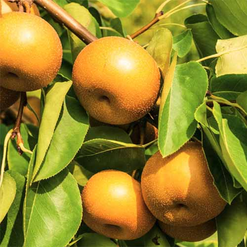 A close up square image of ripe 'Drippin' Honey' Asian pears growing on the tree, ready for harvest pictured in light sunshine.