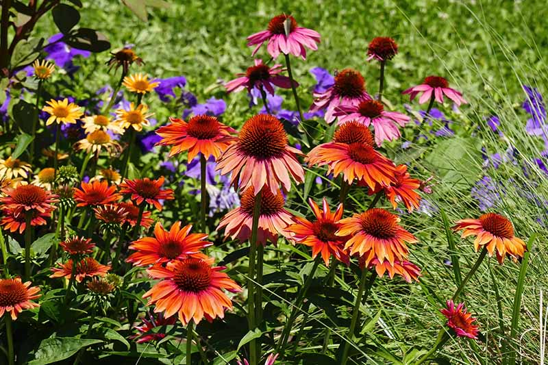 A close up horizontal image of echinacea growing in a mixed naturalized planting with green foliage in soft focus in the background.