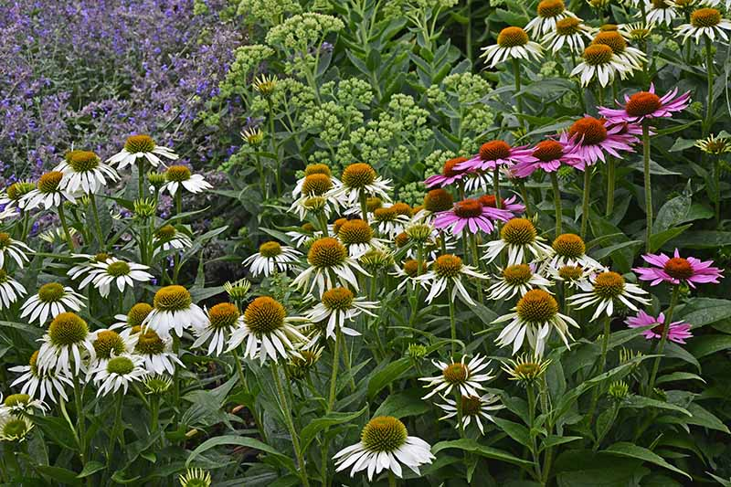 A close up horizontal image of white and purple echinacea growing in a flower border.