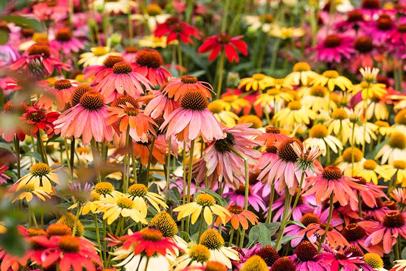 A close up horizontal image of yellow, red, pink, and purple coneflowers growing in a meadow.