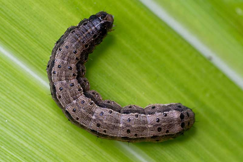 A close up horizontal image of a fall armyworm on the surface of a green leaf.