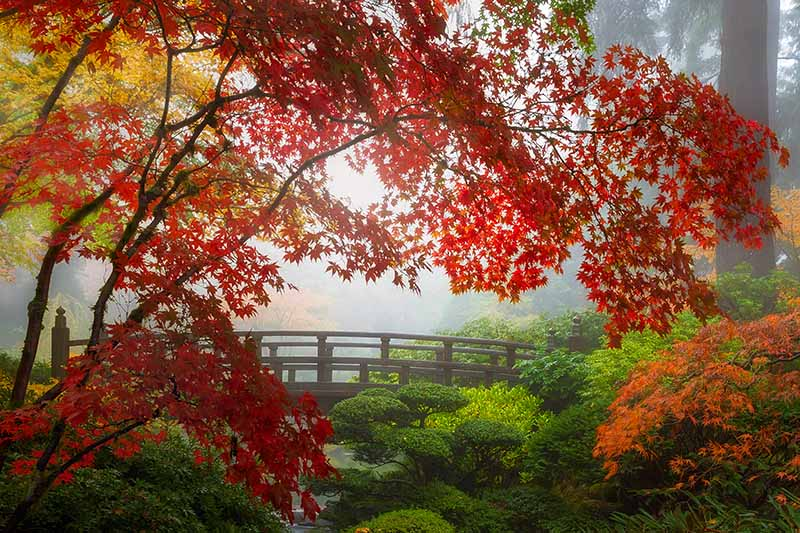 A horizontal image of the fall colors of a Japanese maple growing near the Moon bridge in Portland Japanese garden.