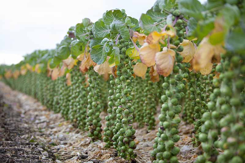 A horizontal image of a field of brussels sprouts that have been diligently pruned, ready for harvest.